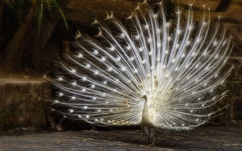 wallpapers  peacock feathers hd  wallpaper cave