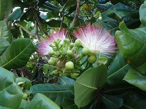 Plants That Give Off Light Barringtonia Asiatica Fish Poison Tree World Of