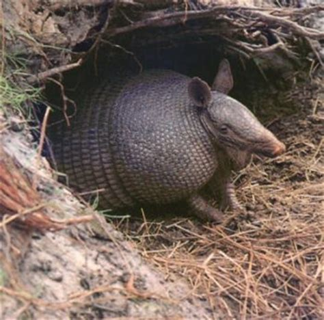 pet armadillo armadillos as pets fun animals wiki videos pictures stories