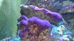Cyanobacteria in my reef tank - YouTube
