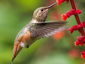 Allen's Hummingbird, Identification, All About Birds ...