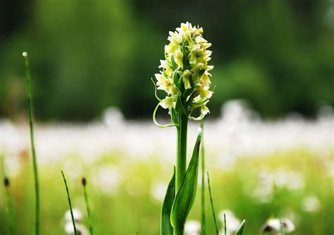orchideen  deutschland diese sorten sind bei uns heimisch