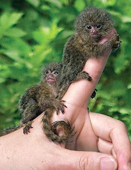 Pygmy Marmoset - The Smallest Monkey