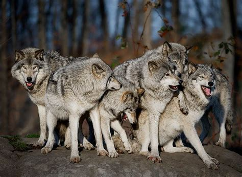 People Playing with Wolves