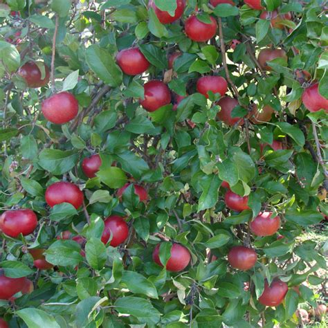 Apples Anyone? Free Stock Photo - Public Domain Pictures