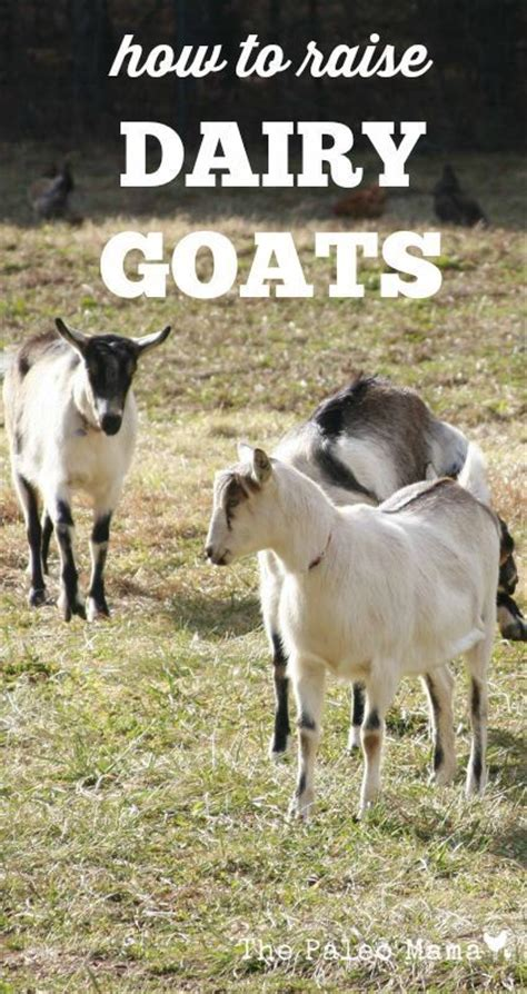 how to raise goats how to raise dairy goats goats livestock and goat care