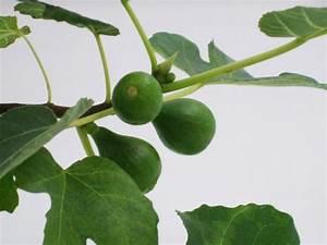 Feigenbaum Im Garten : feigenbaum winterhart f r den garten naschpflanzen gartenpflanzen und gartendeko ~ Orissabook.com Haus und Dekorationen