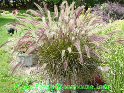 perennial grass annual ornamental grasses www pixshark com images galleries with a bite