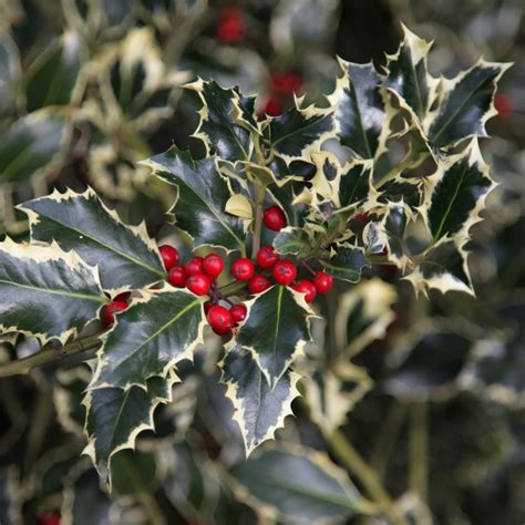 buy broad leaved silver holly female ilex aquifolium argentea marginata  delivery  crocus