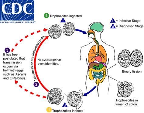 Dfragilis Lifecycle.gif