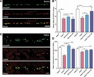 Neurons Of Pink1 Mutants Show Reduced Mitochondrial Imp Or  U232c  U243a M   A