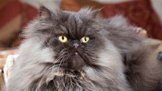 coolest cat breeds best cat breeds for apartment living realtor 174