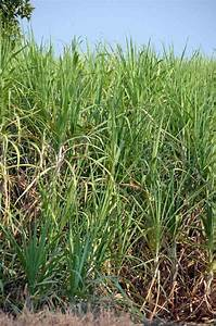 AsiaPhotoStock, sugar cane crop