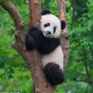 Pandas are taken off the endangered list and wild tigers