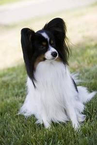 Cleaning Fish How To Groom The Papillon For The Show Ring Pets