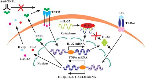 Tumour Necrosis Factor Alpha-driven Il-32 Expression In