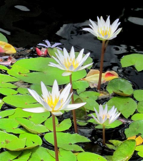 White Tropical Water Lily  Water Garden Live Pond Plant