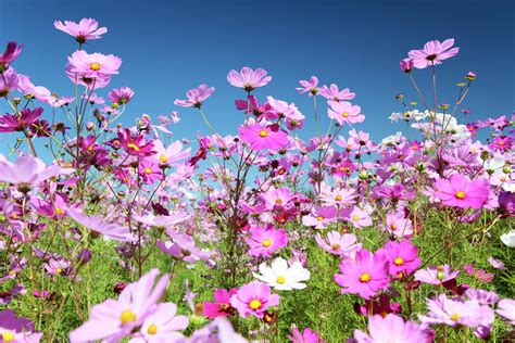 picture of cosmos flower multicolor mixture cosmos flower seeds cosmos bipinnatus pack flowahs pinterest