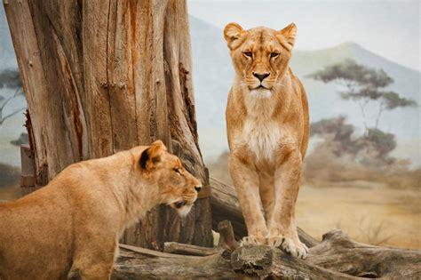 lions standing  stock photo public domain pictures