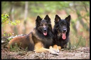 German Shepherd Dog Wallpapers - Wallpaper Cave