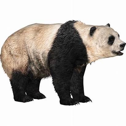 Panda Giant Pandas Tycoon Zoo Roblox Transparent