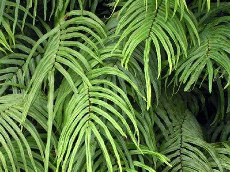 personalized garden pteris fern brake