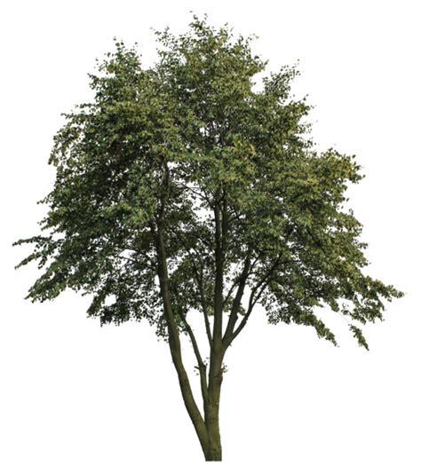 tanaman white plumeria texture png tree big plant plant cg source