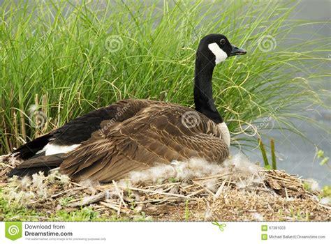 female canada goose sitting   nest stock image