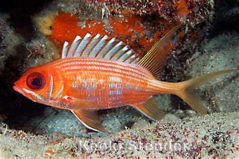 tropical fish longspine squirrelfish holocentrus rufus