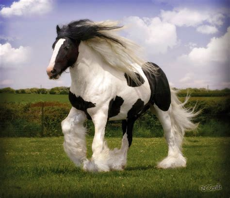 horses gypsy horse cool vanner cob looking tinker riding breeds breed stallion awesome gypsies equine gypsey vanners equestrian ink amazing