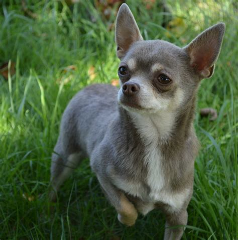 kc chihuahua smoothcoat lilac stud boy  sale skegness