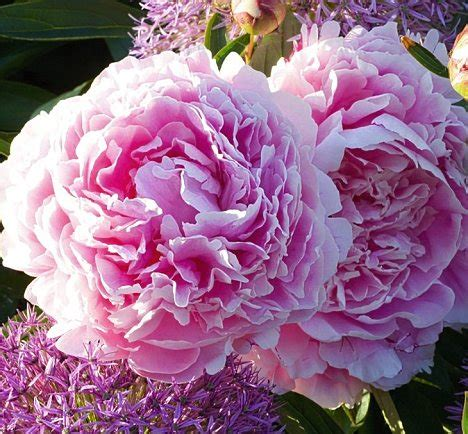 large summer flowers peonies from heaven plant peonies now and they 191 ll light up your early summer garden without