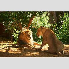 Zoom Erlebniswelt  Löwin Itombi Mit 15 Jahren Gestorben