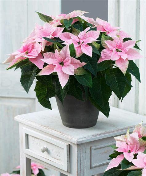 poinsettia pink pink poinsettia plant 163 6 75 artful christmas pinterest