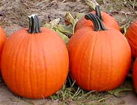 Pumpkin Patch St Louis Mo by Pumpkin Patch Saint Louis Cheaptracker