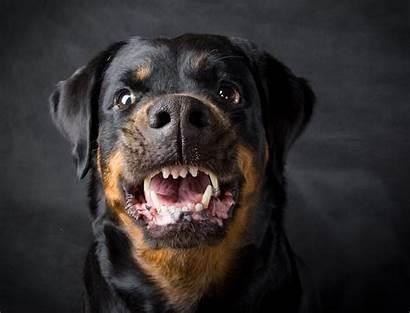 Dog Aggressive Rottweiler Bite Breed Florida Dogs