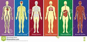 Different Systems Of Body