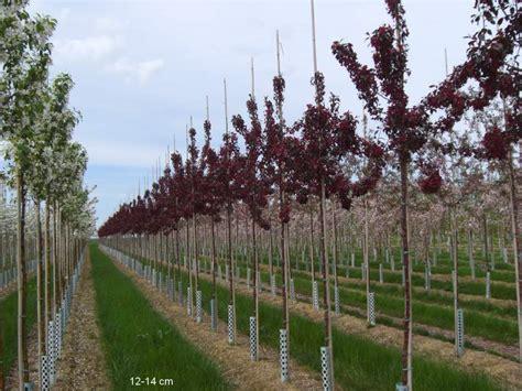 kleine bäume für den garten klein bleibende b 195 164 ume pflanzen kaufen mr pflanzenvertrieb der spezialist f 195 188 r den versand