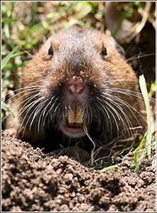Mole and Gopher Facts | Humane Wildlife Control, Oklahoma ...