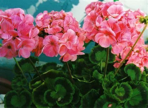 pics of geraniums geraniums the beauty of flowers pinterest