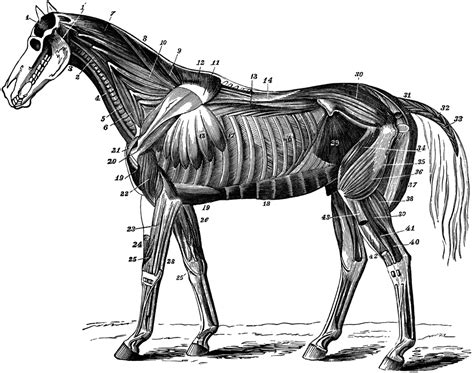 horse muscles neck anatomy muscle horses muscular clipart etc system medium blood animal usf edu