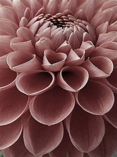 dahlia perfectly pretty pastels flowers beautiful