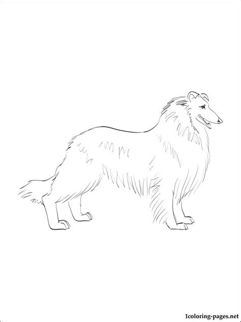 rough collie coloring page coloring pages
