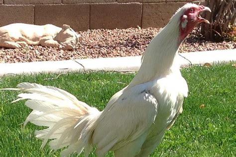 Sabung ayam adalah permainan, ajang saling adu ayam peliharaan dengan menggunakan pisau kecil pada kaki ayamnya. Senapan Mesin Dari Negara Peru, Ayam Peruvian Murni
