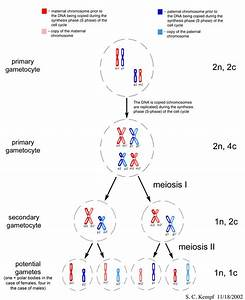 Ploidy And Meiosis