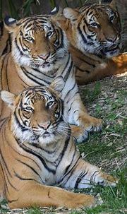 "Cincinnati Zoo on Instagram: ""Happy #InternationalTigerDay ..."