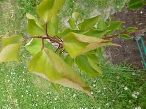 Gummibaum Lässt Blätter Hängen : aprikose l sst bl tter h ngen page 2 mein sch ner garten forum ~ Bigdaddyawards.com Haus und Dekorationen