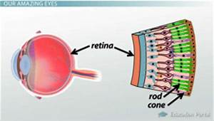 Eyes Diagram Rods Cines : how receptors of the eye conduct information via the optic ~ A.2002-acura-tl-radio.info Haus und Dekorationen