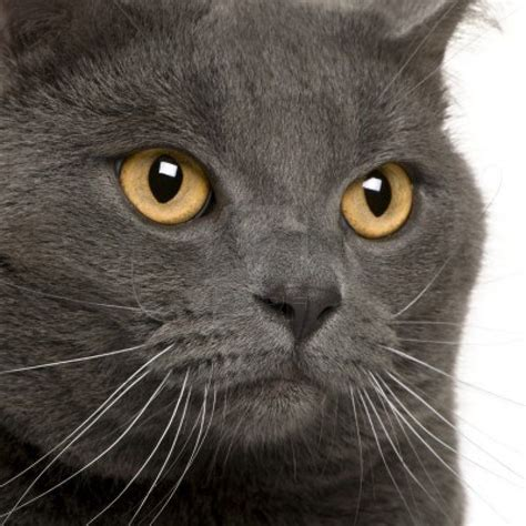 close up of a Chartreux (3 years old) | Cat Portraits ...