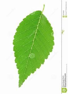 Green Single Leaf Royalty Free Stock Photos - Image: 20733528